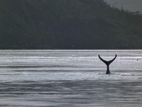Cola de ballena en el Estrecho de Magallanes (Chile)