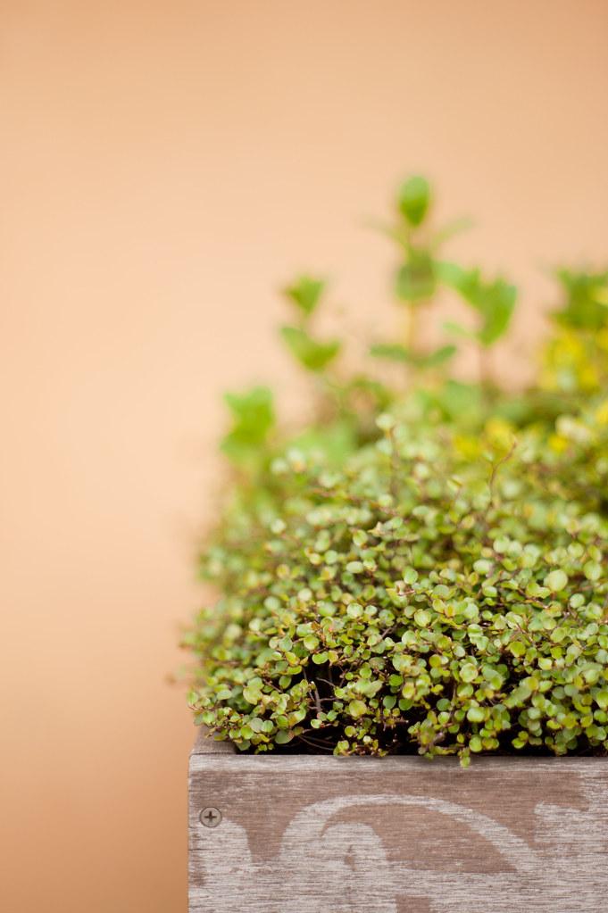 レストランの前の緑のやつ 2012/04/07 DSC_3885