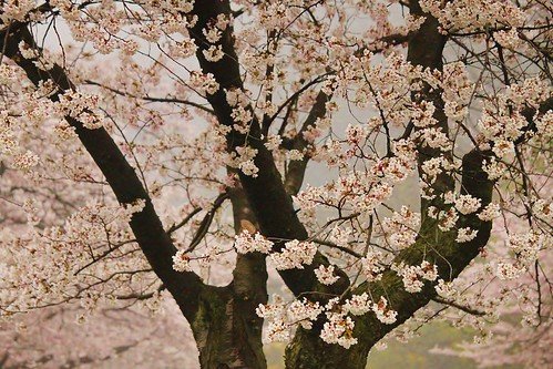 The cherry blossoms are out in High Park this week
