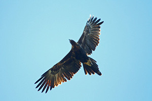 Wedge-tailed Eagle N B