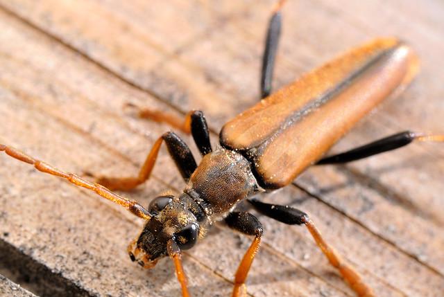 Leptura latipennis