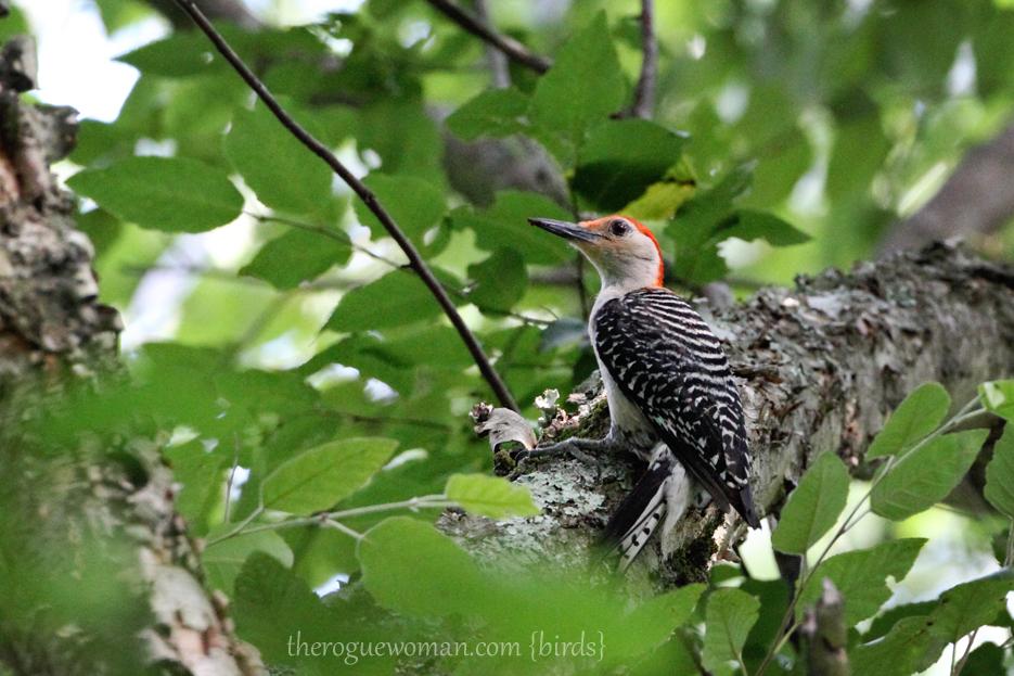 060512_04_birding07_redBreastedWoodpecker