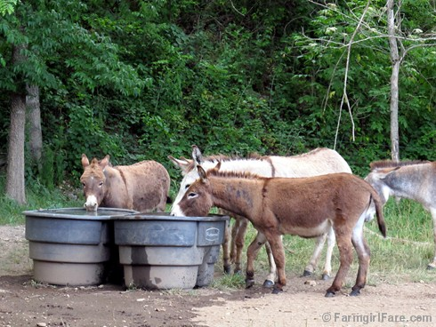 (4) Thirsty donkeys - FarmgirlFare.com