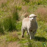 Baby Lamb in Central Otago - New Zealand