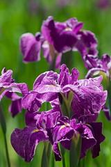 Iris ensata var. ensata