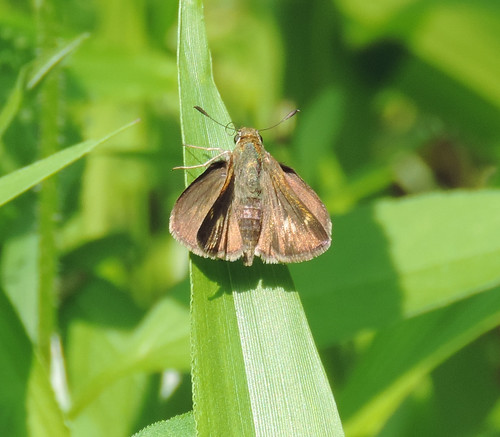 Tawny edged Skipper?