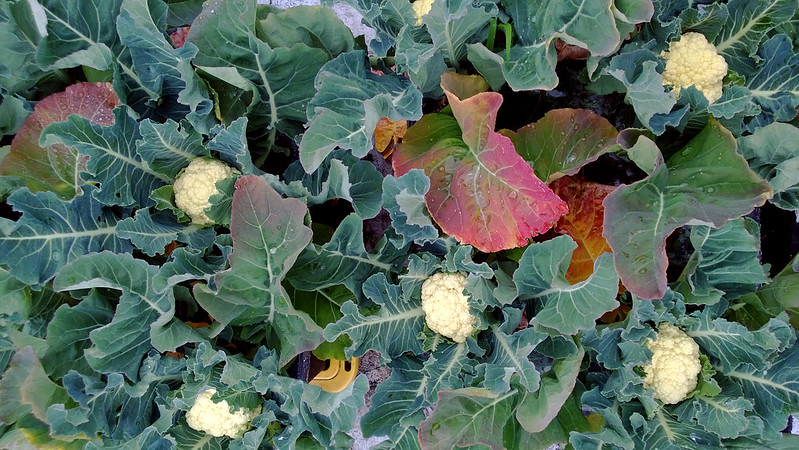 Cauliflower Harvest WP_20130607_007