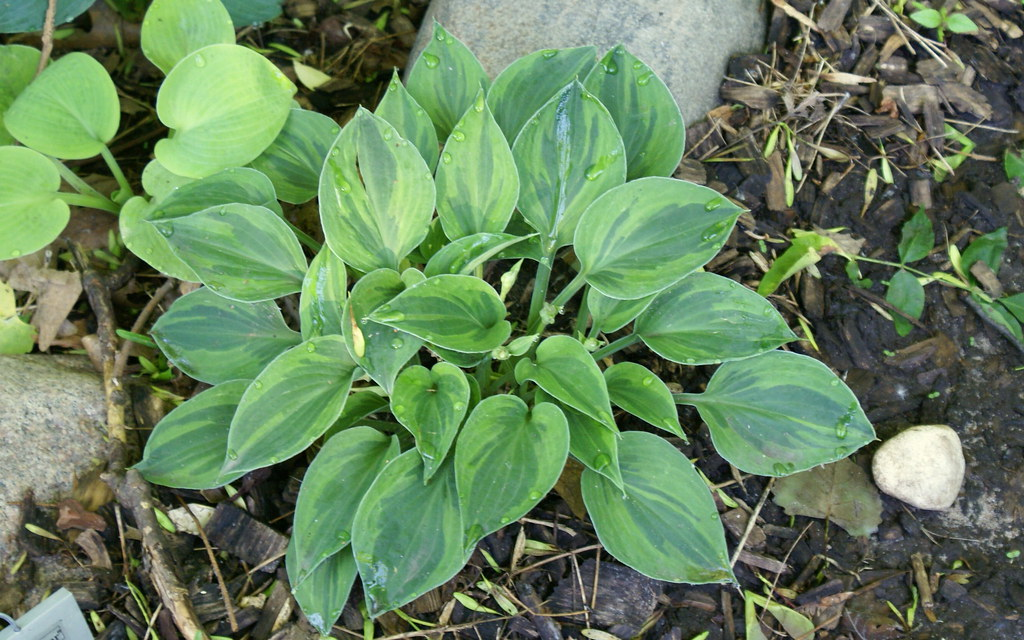 Hosta 'Pamela Lee' (10)-001