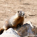 """Yellow-bellied marmot"""" © Chelsea Stark http://www.chelseastarkphotography.com"""
