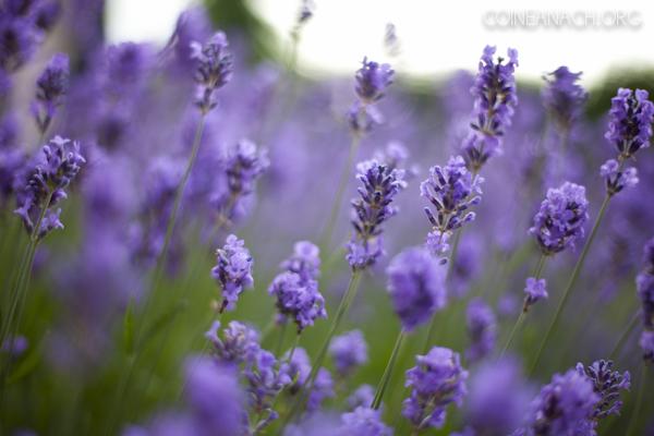 20120628_lavender_001