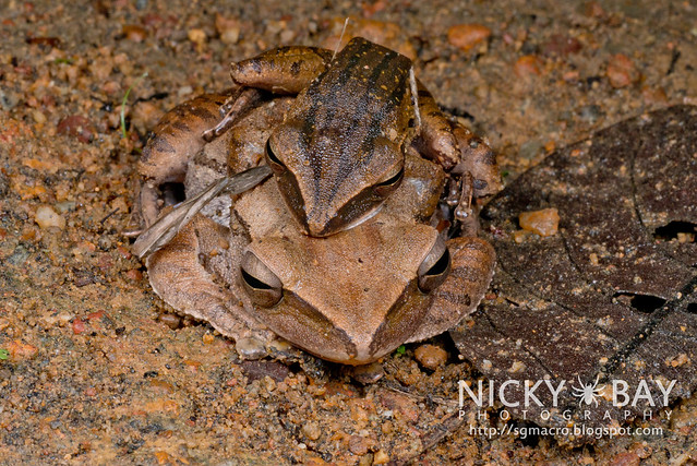 Four-Lined Tree Frogs (Polypedates leucomystax) - DSC_0784