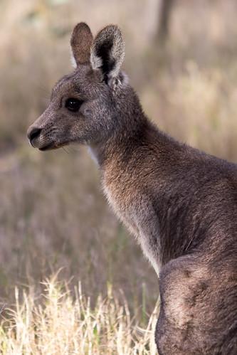Kangaroo 2013-08-08 (IMG_0496)