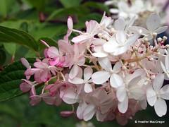 Vanilla Fraise Hydrangea