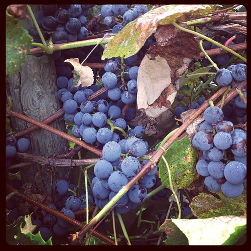 #septfoodphotos 8 | #makesmehappy - grapes ready for harvest - Fredonias to be exact #farmgirl #eatrealfood #seasonaleating