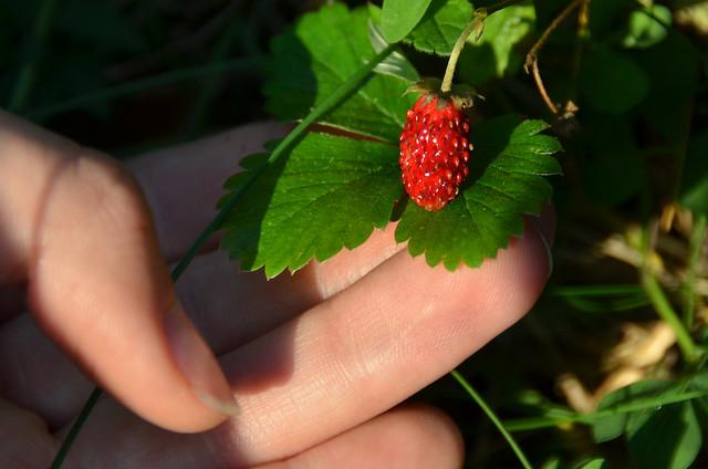 Fresas silvestres que encontramos camino de la casa de Heidi