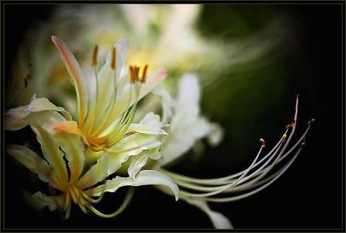 彼岸花(Equinox Flower)