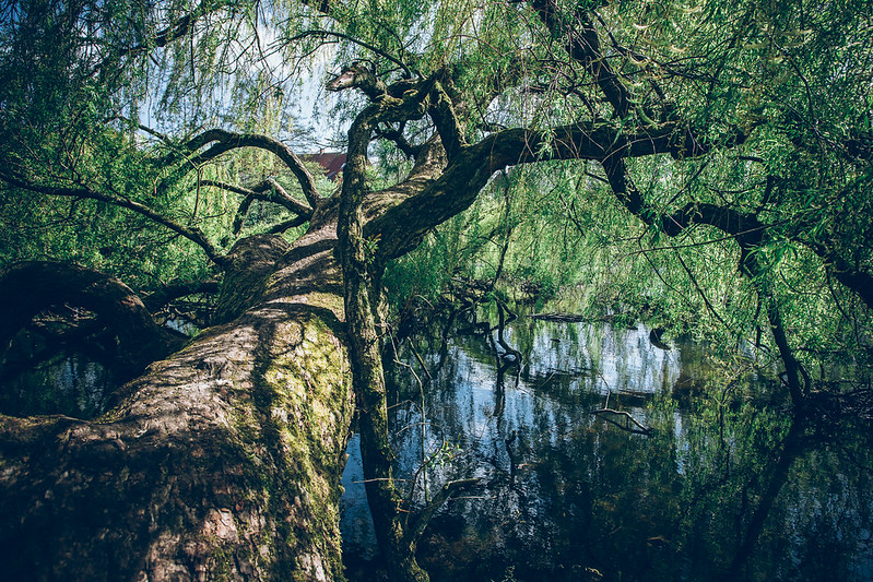 Tree in the park in Odense