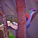 Colourful Dove by Ric Seet.
