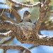 Western Wood-Pewee by Wild Wings Backyard Nature Store