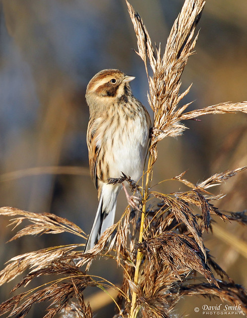 DSP00858 - Reed Bunting, Canon EOS-1D MARK IV, Canon EF 100-400mm f/4.5-5.6L IS II USM + 1.4x