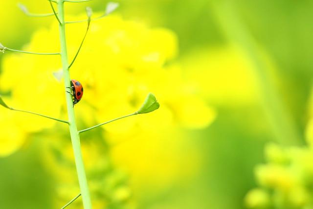 Tenderstem broccoli and ladybug 2