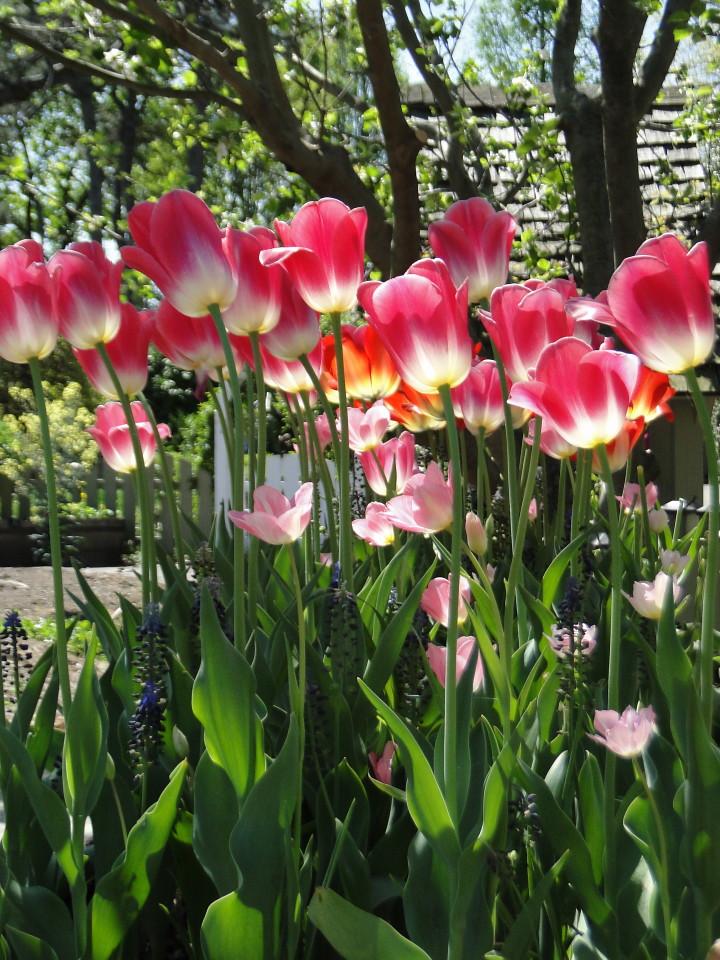 77-21apr12_3619_Botanical_garden_tulip