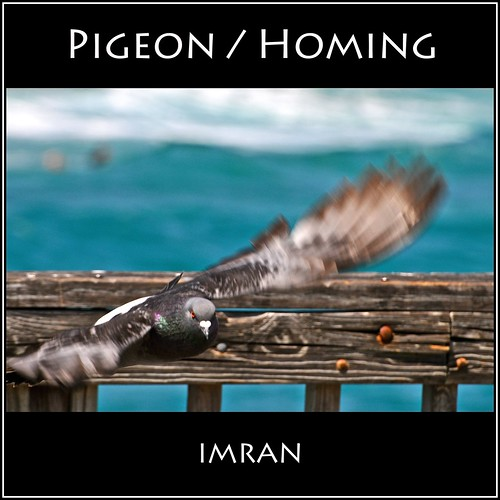 Pigeon, Homing - IMRAN™ by ImranAnwar