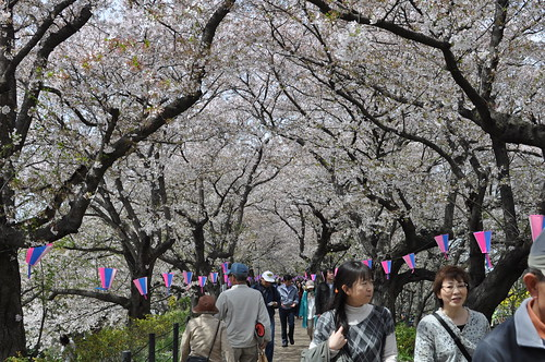 Cherry blossoms viewing
