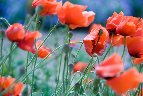 the poppies blow ...
