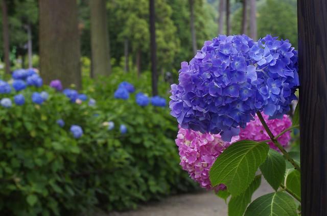 紫陽花(ツートーン)