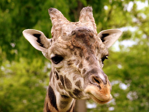 Congo, the Male Giraffe - Nashville Zoo