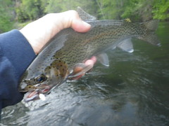 Dry fly time on the Upper Sacramento River