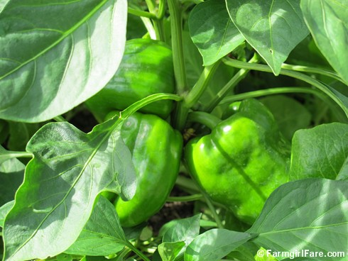 (12) King Arthur sweet peppers in the kitchen garden - FarmgirlFare.com