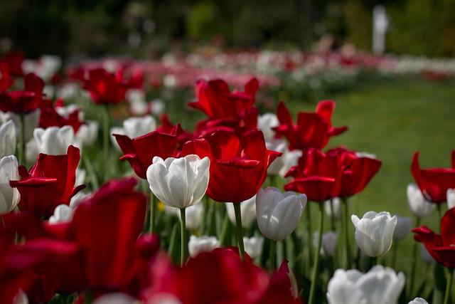 Tulips in Spring - Copenhagen, Denmark