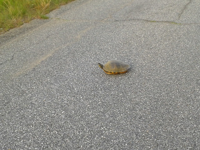 Found a box turtle in the road