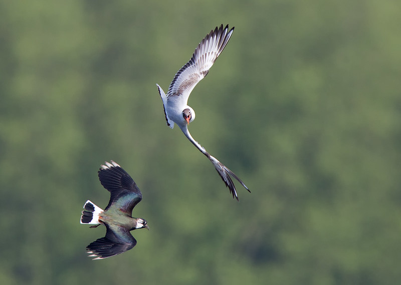Lapwing and BH Gull in battle