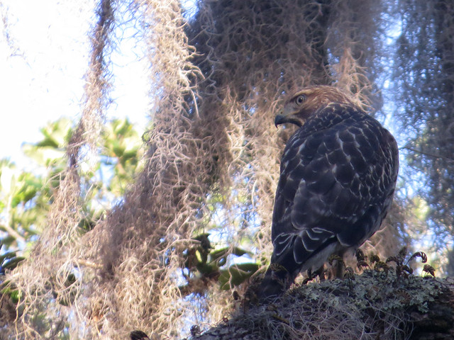 Red-shouldered Hawk juv