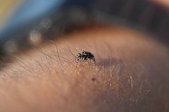 Jumping spider on my arm