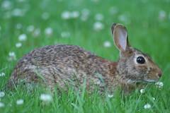 Rabbit at Lawrence