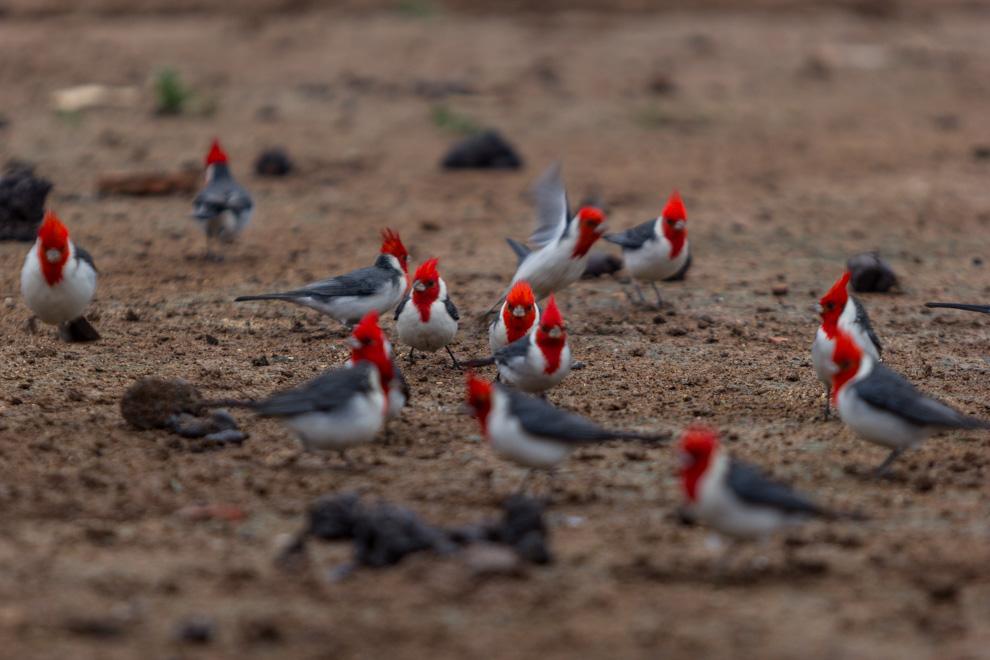 Cardenales (cardinalis cardinalis) comen granos para las gallinas en una granja. (Tetsu Espósito)