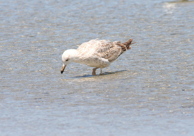 yellow legged gull 2nd winter