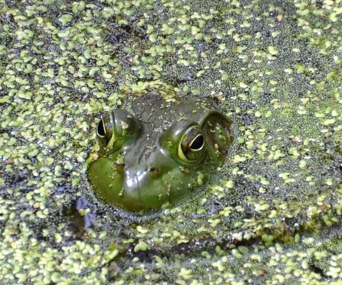 summer green pond amphibian august frog greenery submerged peeking duckweed inthewild glenwoodgardens vernalpond blinkagain jennypansing