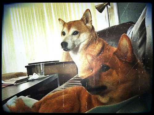 kiyomi and taro shibas, on the couch