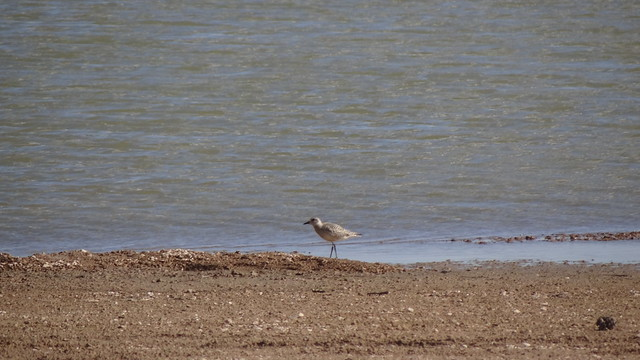 Black-bellied Plover, Lake Minatare