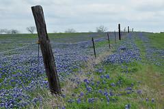 Ennis - Blue Bonnet Fence