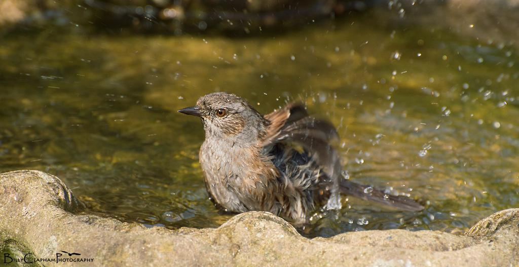 dunnock bird bath