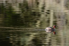 stonefactionbirding2014.blogspot.co.uk/2014/04/easter-exc...  Little Grebe at Morton Lochs....