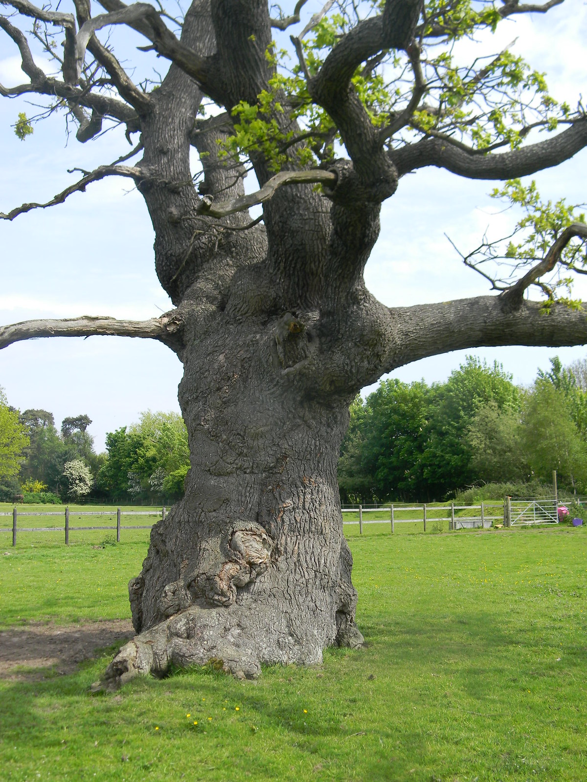 An Essex Baobab Just a gnarly old oak really. Manningtree Circular