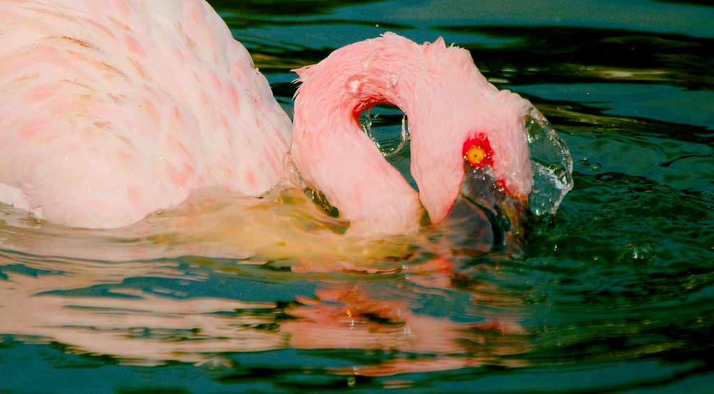 Lesser Flamingo (Phoenicopterus minor)_13