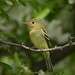 yellow-bellied flycatcher by BobRobin